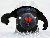 Black Grouse (Lyrurus tetrix) Utajärvi Finland