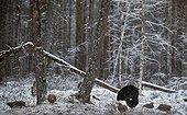 Caspercaillie (Tetrao tetrix) Vaala Finland