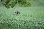 Grey Partridge (perdix perdix) Estonia