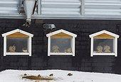Grey Partridge (perdix perdix) Kauhajoki Finland