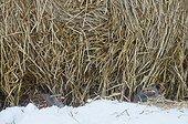 Grey Partridge (perdixperdix) Kauhajoki Finland
