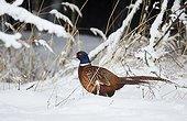 Pheasant male (Phasianus colchicus) Kauhajoki Finland January 2015