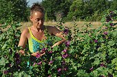 Picking of mallow flowers in a garden