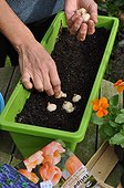 Planting of associated bulbs in a window box