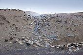 Herd of Pashmina Goats, Changthang Plateau, Ladakh, Himalayas, India