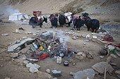 Caravan of Yacks in a nomad camp, Changthang Plateau, Ladakh, Himalayas, India
