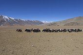 Caravan of Yacks, Changthang Plateau, Ladakh, Himalayas, India