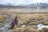 Elderly woman looking for water at creek, Surroundings of Korzok, Leh, Ladakh, Himalayas, India