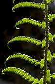 Male fern (Dryopteris filix-mas), close-up on a young frond in Spring. Vall de Boi, Alta Ribagorca. Lleida. Pyrenees. Catalonia. Spain.