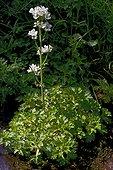 Water saxifrage (Saxifraga aquatica). Food plant. Espot. Pallars Sobira. Lleida. Pyrenees. Catalonia. Spain.