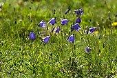 Blooming bellflowers (Campanula scheuchzeri Vill.), Boanigua, Pallars Sobira. Lleida. Pyrenees. Catalonia. Spain.