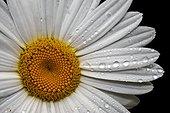 Oxeye Daisy (Leucanthemum Vulgare) (Chrysantemum leucanthemum) after a rainy day. Vall de Bo. Alta Ribagorca. Pyrenees. Lleida. Spain.