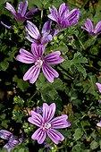 Blooming Common mallow (Malva sylvestris). Medicinal and edible plant. Balaguer. Noguera. Lleida. Catalonia. Spain.