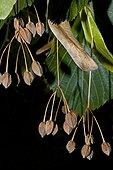 Largeleaf linden (Tilia platyphyllos) with ripped fruits. Medicinal plant. Balaguer. Noguera. Lleida. Catalonia. Spain.