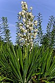 Blooming Spineless Yucca (Yucca elephantipes). Decorative plant. Olot. Garrotxa. Girona. Pyrenees. Catalonia. Spain.