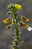 Blooming Yellow restharrow (Ononis natric). Montsec d'Ares. Pallars Jussa. Pyrenees. Lleida. Catalonia. Spain.