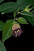 Belladonna (Atropa belladona) flowered. Toxic plant (scopolamine, atropine and hyoscyamine as active ingredients). Despite this, it is used as a medicinal plant. Parque Nacional de Ordesa. Torla. Huesca. Aragon. Spain.
