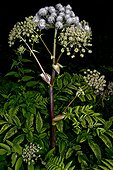 Razouls' Angelica (Angelica razulii) flowers. Plant of meadows and pastures. Valley of Aspe. Urdos. La France.