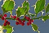 English holly (Ilex aquifolium). Toxic plants. Traditionally used as a medicinal plant (for animals). Olot. Garrotxa. Girona. Pyrenees. Catalonia. Spain.