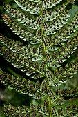 Hard shield fern (Polystichum aculeatum), close-up on a frond with sporangiums. Valle de Grist. Eriste. Ribagorza. Huesca. Aragon. Spain.