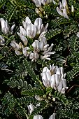 Astragale de Marseille / Coussin de belle mere (Astragalus tragacantha) (Astragalus massiliensis). Limestone coast plants. Species that can lives in dry and salty environment. L'Escala. Alt Emporda. Girona. Catalonia. Spain.