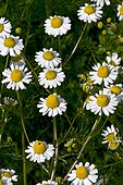 Wild chamomile (Matricaria recutita L.) in bloom. Used as a medicinal plant. Batet. Garrotxa. Girona. Pyrenees. Catalunya. Spain.