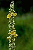 Great mullein (Verbascum thapsus) in bloom. Species used in popular medicine. Poisonous plant for fishes. Espot. Pallars Sobire . Lleida. Pyrenees. Catalunya. Spain.