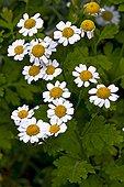 Feverfew (Tanacetum parthenium (L.) Schultz Bip.) in bloom. Used as a medicinal plant. Tavascan. Pallars Sobire. Lleida. Pyrenees. Catalunya. Spain.
