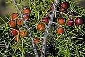 Prickly juniper (Juniperus oxycedrus L.) with its fruits. Used asa medicinal plant. Sant Llorenc de Montgai. Noguera. Lleida. Pyrenees. Catalunya. Spain.