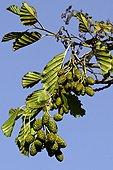 Common alder (Alnus glutinosa (L.) Gaertn.) with fruits and a blue sky. Estany d'Ivars. Pla d'Urgell. Lleida. Catalunya. Spain.