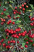 Common hawthorn (Crataegus monogyna Jacq.) in Fall, with ripe fruits. Used as a medicinal plant. Hedge plant. Montgai. Noguera. Lleida. Catalunya. Spain.