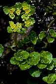 Opposite-leaved golden saxifrage (Chrysosplenium oppositifolium L.) in bloom. Species of damp areas. Val d'Aran. Lleida. Pyrenees. Catalonya. Spain.