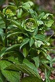 Green hellebore (Helleborus viridis) in bloom. Used as a medicinal plant. Poisonous plant. Val d'Aran. Lleida. Pyrenees. Catalunya. SpainK.