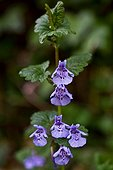 Ground-ivy (Glechoma hederaceae) in bloom. Used as a medicinal plant. Pyrenees. Catalunya. Spain.