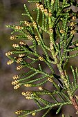 Phoenicea juniper (Juniperus phoenicea) in bloom. Toxic plant. Also used as a medicinal plant. Pyrenees. Catalunya. Spain.