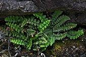 Lip fern Cheilanthes acrostica) (=Cheilanthes pteridioides) (=Cheilanthes fragrans) (=Cheilanthes odora) in its habitat. Pyrenees. Huesca. Aragon. Spain.