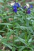 Purple Gromwell (Lithospermum purpureo-caeruleum) in bloom. Species used in popular medicine. Pyrenees. Huesca. Aragon. Spain.