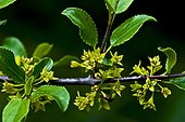 Rock buckthorn (Rhamnus saxatilis Jacq.) (=Rhamnus infectorius L.) in bloom. pYrenees. Huesca. Aragon. Spain.
