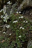 Rockfoil (Saxifraga fragilis Schrank) in bloom. Pyrenees. Huesca. Aragon. Spain.