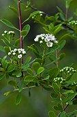 Spiraea (Spiraea crenata L. var. parviflora (Pau) C. Vic.) in bloom. Pyrenees. Huesca. Aragon. Spain.
