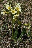 Oxlip (Primula elatior (L.) L.) in bloom. Pyrenees. Huesca. Aragon. Spain.