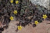 "Creeping woodsorrel (Oxalis corniculata L.) in bloom. ""Weed"" of agricultural fields. Poblet. Conca de Barbera. Tarragona. Catalunya. Spain."