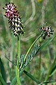 Fumitory flowers (Platycapnos spicata (L.) Bernh.) in bloom. Balaguer. Noguera. Lleida. Catalunya. Spain.
