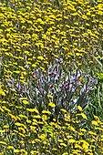Hound's tongue (Cynoglossum cheirifolium L.) and hawksbeard (Crepis vesicaria L. ssp. taraxacifolia) in bloom. Ivars d'Urgell. Pla d'Urgell. Lleida. Catalunya. Spain.
