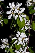Blooming snowy mespilus (Amelanchier ovalis). Species used for popular handicraft. Used as a medicinal plant. Camarasa. Noguera. Lleida. Pyrenees. Catalunya. Spain.