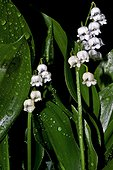Lily of the valley (Convallaria majalis L.), blooming, after the rain. Poisonous plant. Species used in medicine, perfumes and as an ornamental plant. Olot. Garrotxa. Pyrenees. Catalunya. Spain.