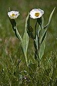 Blooming Pyrenean buttercups (Ranunculus amplexicaulis L.). Pyrenees. Huesca province. Aragon. Spain.