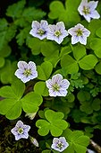 Blooming wood sorrel (Oxalis acetosella L.) in Spring. Huesca province. Pyrenees. Aragon. Spain