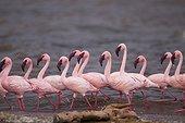 Lesser Flamingos wading , Lake Bogoria, Kenya