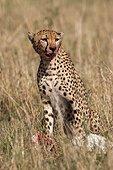 Cheetah (Acinonyx jubatus) female eating, Lockout , Masai Mara, Kenya